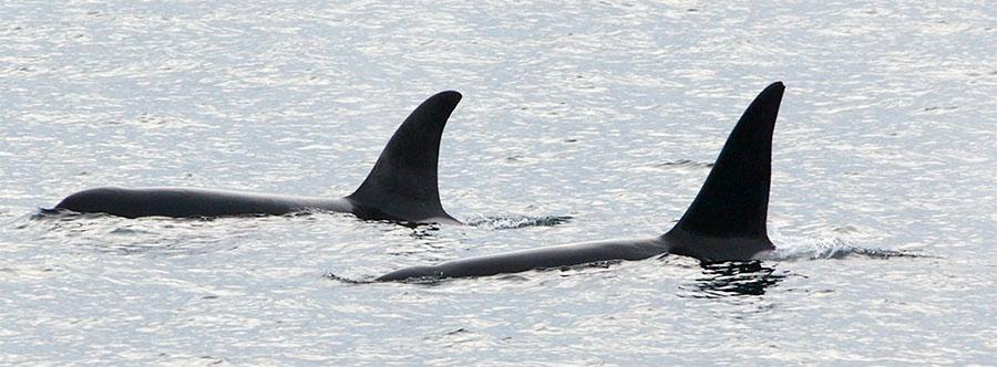 Twee orka's in de Noordzee. Let op de verschillende vorm van de rugvin waarmee orka's geïdentificeerd kunnen worden.