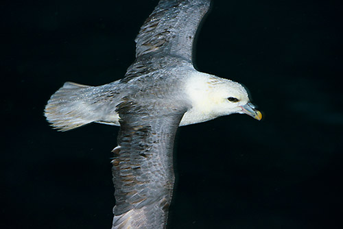 stormvogel in vlucht