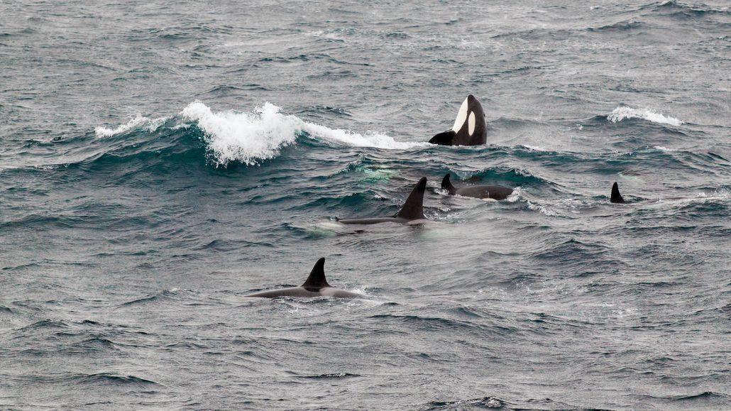 Orka in de Noordzee