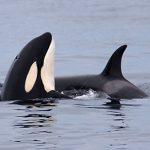 Twee orka's in de Noordzee