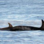 Risso Dolfijnen in de Noordzee