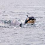 Orka's terug in de Noordzee - Het orkajong van Mousa fiona-van-doorn