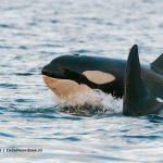 Orka jong in de Noordzee - melvin-redeker