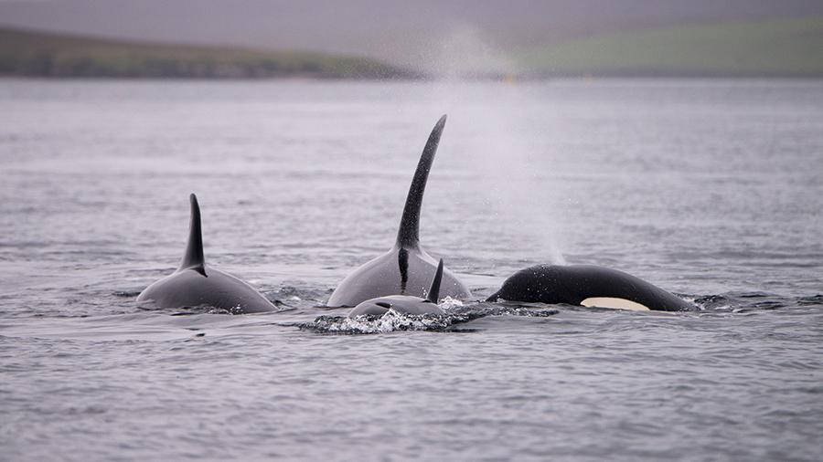 orka's in de Noordzee