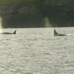 orka's op jacht in de Noordzee