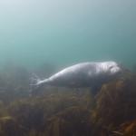 Nieuwsgierige zeehond in de Noordzee