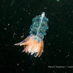 bijzonder diertje tussen het plankton in de Noordzee - melvin-redeker