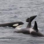 Noordzee Exploratie 2016 - orka's in de Noordzee