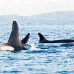 Orka alert in de Noordzee